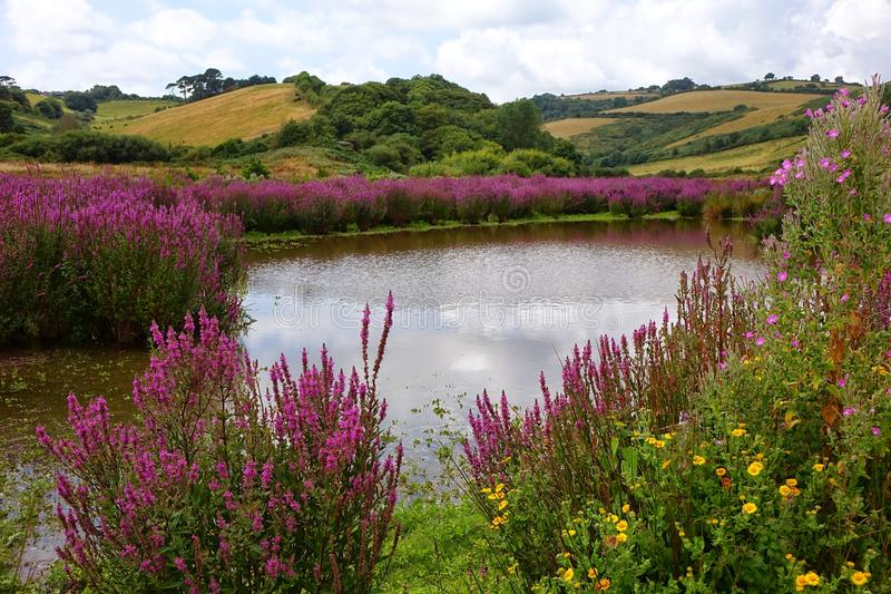 Country pond with colourful colorful flowers in Brixham Devon. This Beautiful pond with colourful colorful flowers at Mann-sands Brixham-devon is only there at stock images