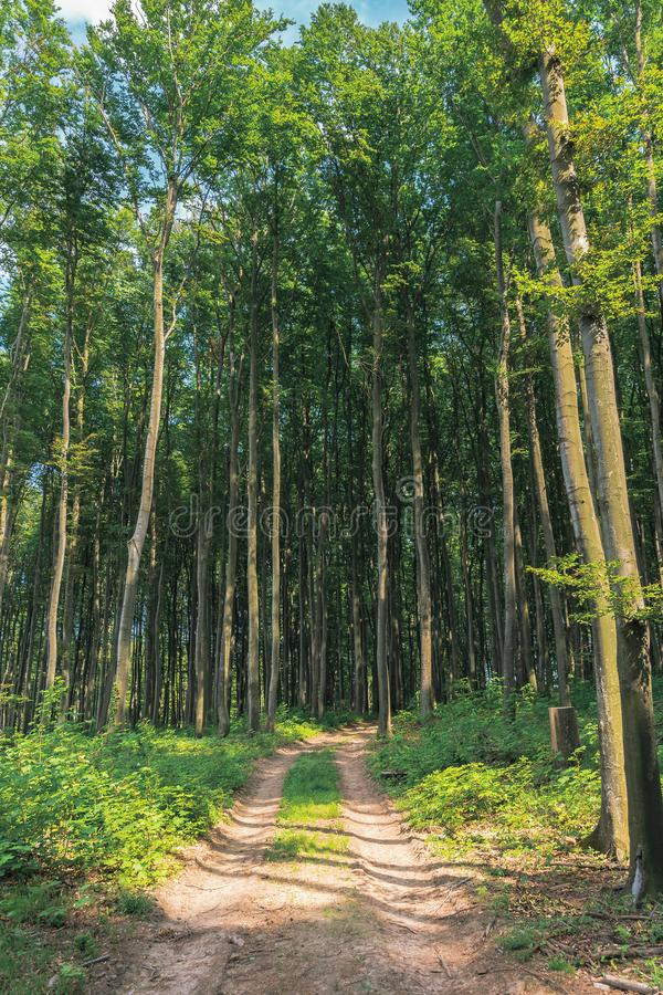 Country road through beech forest stock photography