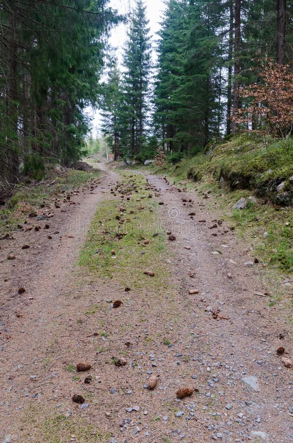 Country road in the forest with cones on the ground royalty free stock image