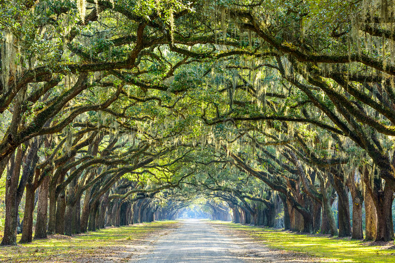 Country Road Lined with Oaks stock photography
