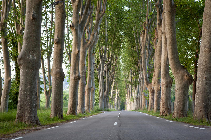 country road lined with sycamore trees i stock image