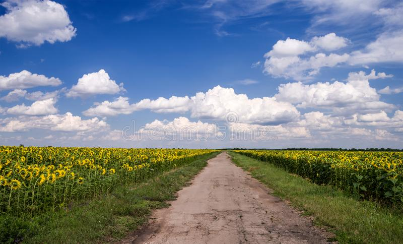 A country road in the middle of a field of sunflowers against a blue sky with clouds stock photo