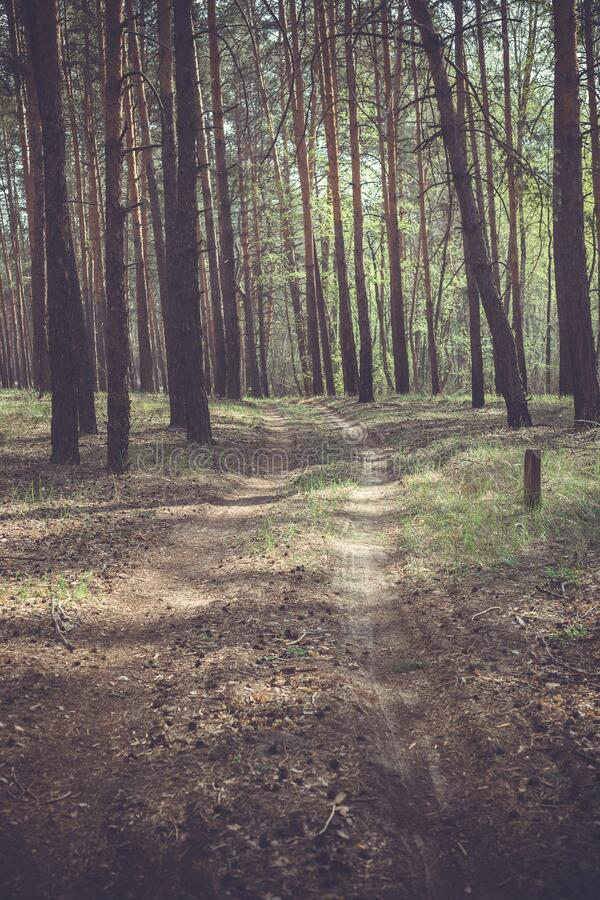 Country road in a pine forest royalty free stock photo