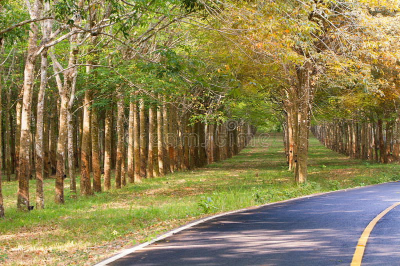 Country road with rubber trees and traffic signs. Country road with rubber trees tunnel on the road with traffic signs royalty free stock photo