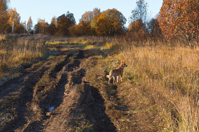 Country roads passing through the field. Frozen grass in frost. Yellow trees in the distance. Orange dog on the road. Golden Autumn. Sunny frosty morning royalty free stock photo