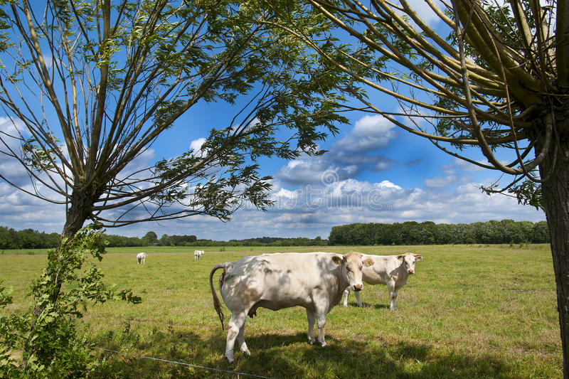 Countryside landscape with cows. Landscape with cow in a field under a blue cloudy sky royalty free stock image
