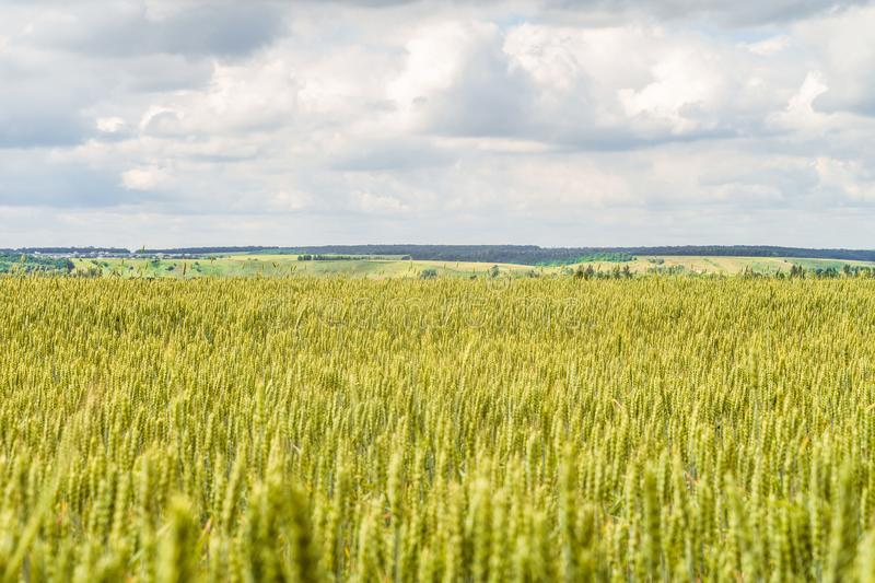 Countryside landscape with greens of ripening wheat ears. Agricultural plantation background with limited depth of field. Cereal field and green hills on the royalty free stock photo