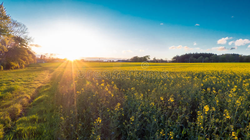 Countryside Rapeseed Flower Field. Countryside Rapeseed (Brassica napus), also known as oilseed. Its a bright-yellow flowering member of the family Brassicaceae royalty free stock photo