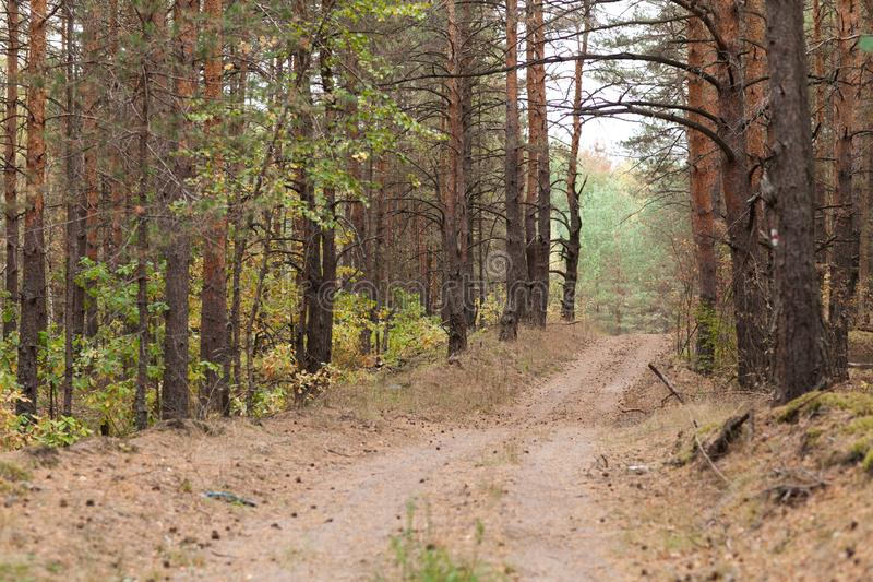 Countryside road in the pine forest at autumn. Perfect path for jogging at the woodland. Dry pine needles and cones on the ground. Fall is coming royalty free stock image