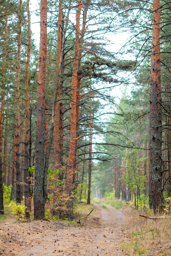 Countryside road in the pine forest at autumn. Perfect path for jogging at the woodland. Dry pine needles and cones on the ground. Fall is coming stock photo