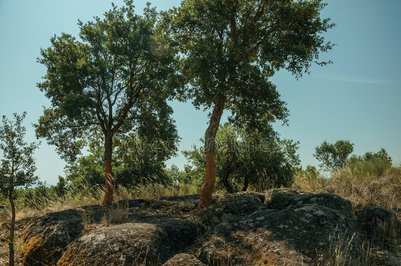 Countryside rocky terrain and a few peeled cork tree. Countryside rocky terrain covered by dry brushwood and a few peeled cork trees, in a sunny day near royalty free stock photography