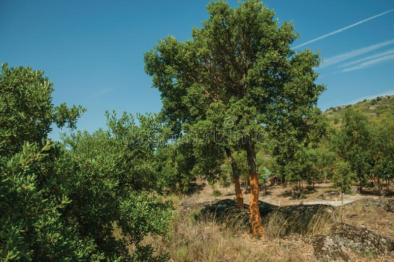 Countryside rocky terrain and a few peeled cork tree. Countryside rocky terrain covered by dry brushwood and a few peeled cork tree, in a sunny day near Monsanto royalty free stock photos