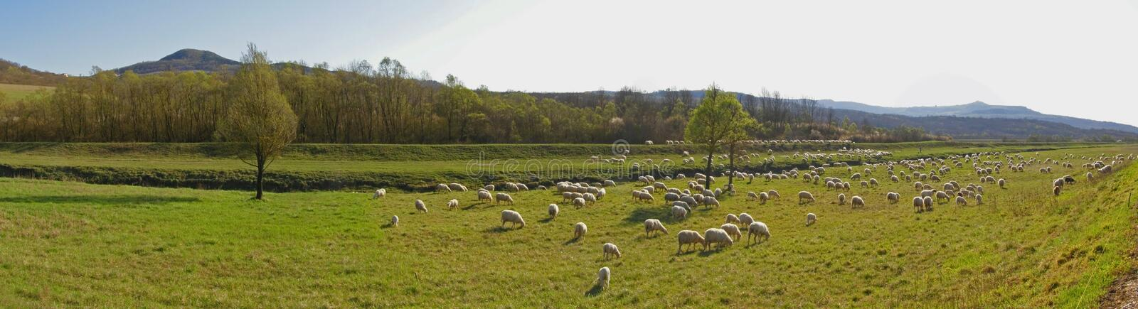 Countryside with sheep flock - panorama royalty free stock images