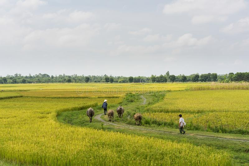 Countryside view of rice paddy field in Vietnam. Farmer taking water buffaloes home royalty free stock images