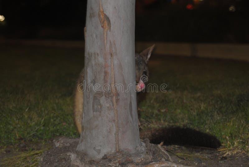 Coup d'oeil d'opossum photo libre de droits