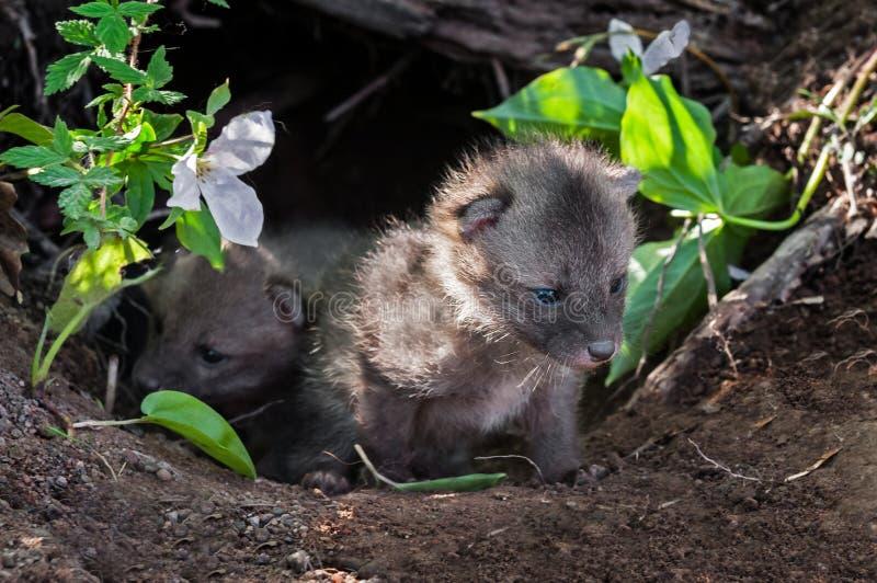 Coup d'oeil de Grey Fox Kits (cinereoargenteus d'Urocyon) hors de repaire photographie stock libre de droits