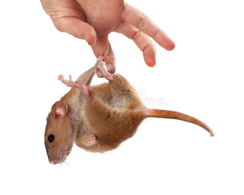 Coup de fantaisie de rat en main photos stock