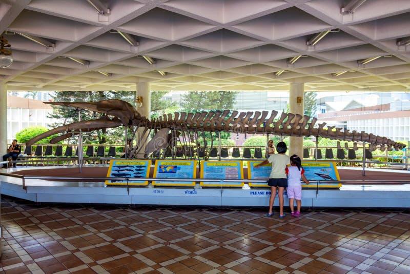 COUP SAEN, THAÏLANDE - VERS EN MARS 2013 : Squelette de baleine dans le musée photos libres de droits