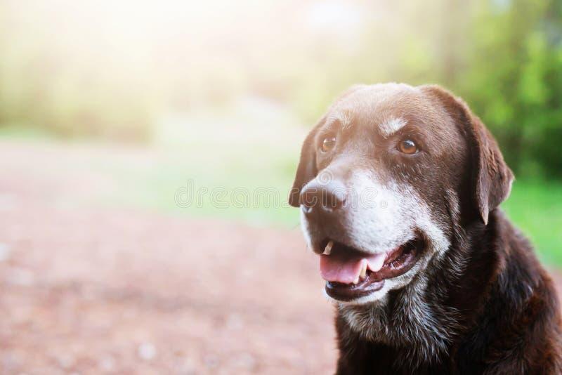 Coupable timide de chien est un chien de chasse d'abri attendant recherchant avec les yeux isolés un regard fixe intense dehors e photos stock