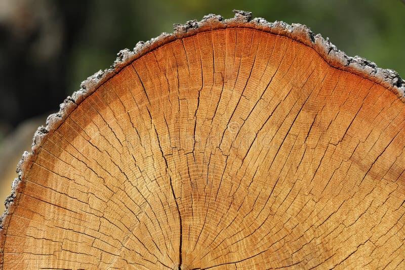 Coupe en bois de tronc d'arbre, section transversale photo libre de droits