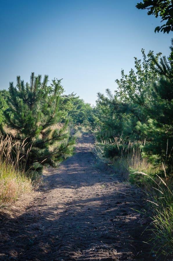 Coupe-feu dans un jeune avertissement de forêt de pin des feux d'été dans les forêts photo libre de droits