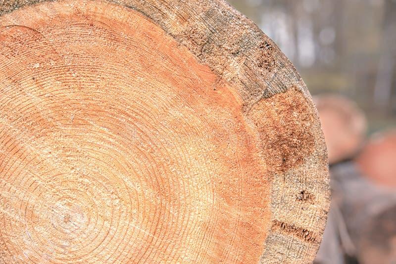 Coupe texturale de tronc d'arbre en gros plan sur fond de forêt d'automne image libre de droits