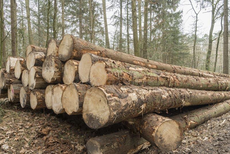 Coupez et avez empilé le bois de construction de pin dans la forêt après qu'abattant l'attente à transporter photos libres de droits