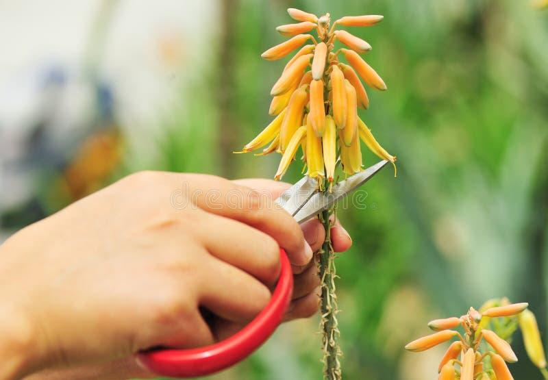 Coupez la fleur d'aloès image libre de droits