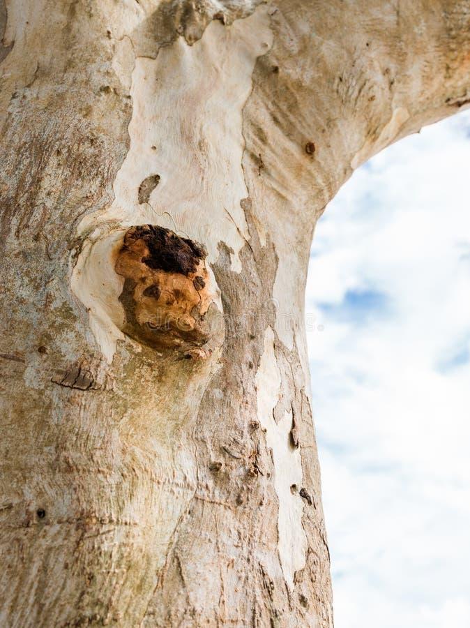 Coupez le bourgeon d'écorce ou en bois image libre de droits