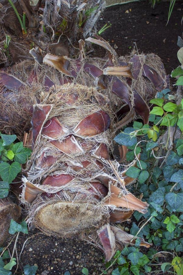 Coupez le tronc de la paume dans le jardin photographie stock