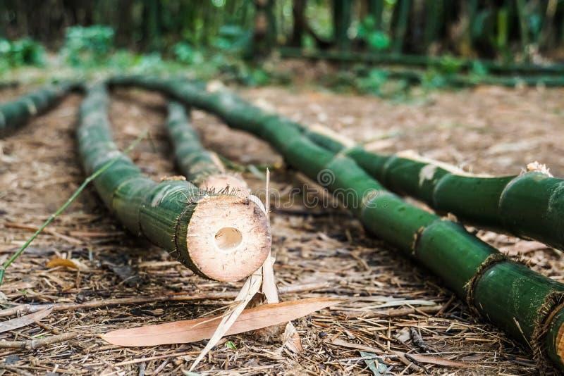 Coupez les bambous verts au sol photographie stock libre de droits