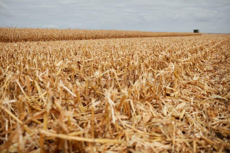Coupez les tiges ou couvrez de chaume dans un domaine moissonné de maïs images libres de droits