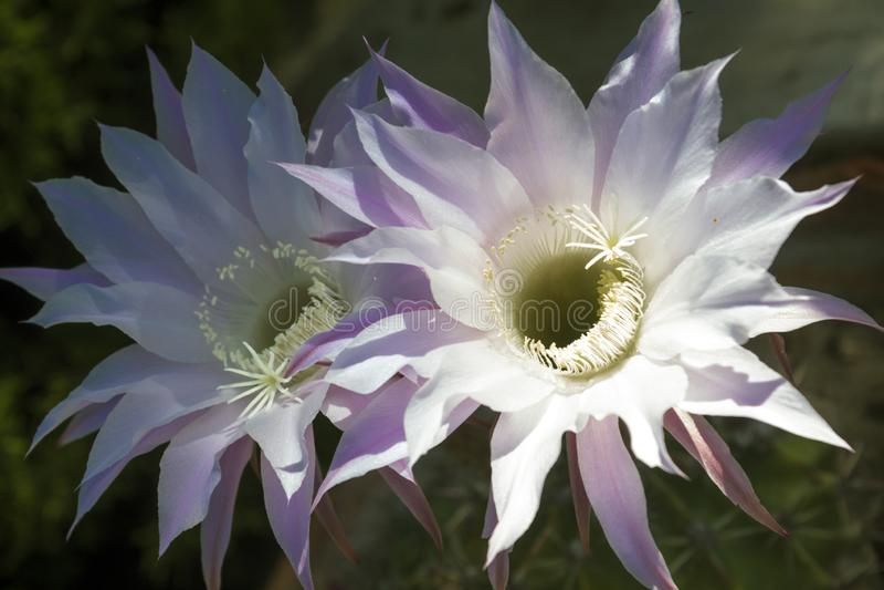 A couple of adorable cereus flowers stock image