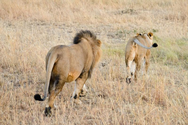 A couple of Africa lion stock photo