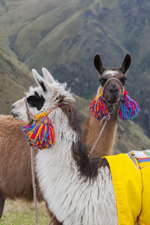 Couple alpacas stock images