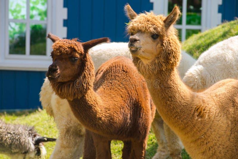 Couple alpacas stock photos