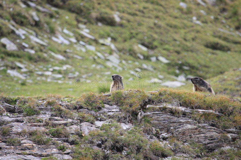 Couple of alpine marmots royalty free stock images