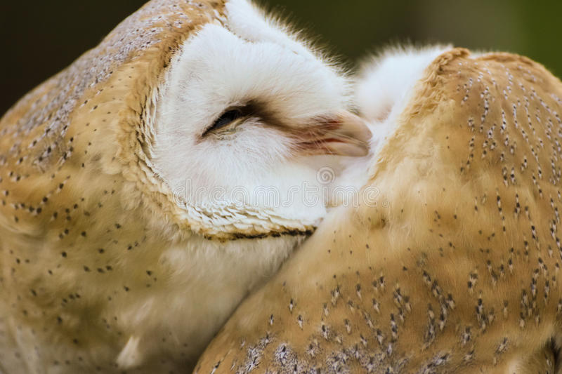 Couple of  Barn Owls grooming each other