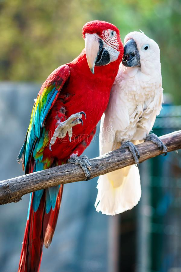 Couple of beautiful colorful Carribean macaw parrots sitting on a bar displaying love and devotion royalty free stock photos