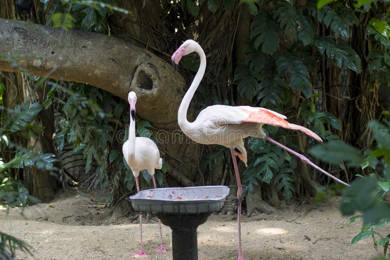 Couple of beautiful pink flamingo birds. At zoo in Sri lanka royalty free stock photography