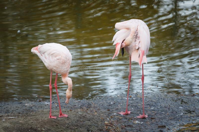 Couple of beautiful pink flamingos stand at the edge of the pond and clean the plumage stock images