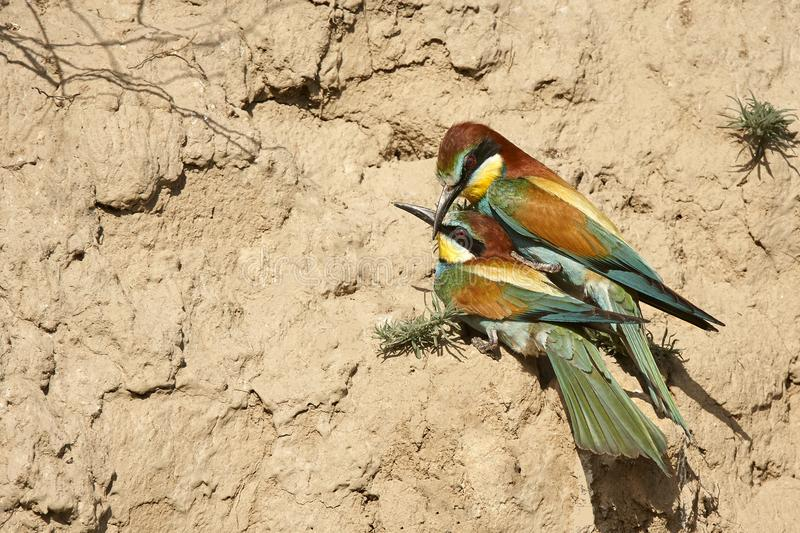Couple of European bee-eaters. Couple of Bee Eaters Merops apiaster. couple rests right at the entrance of their nest stock illustration