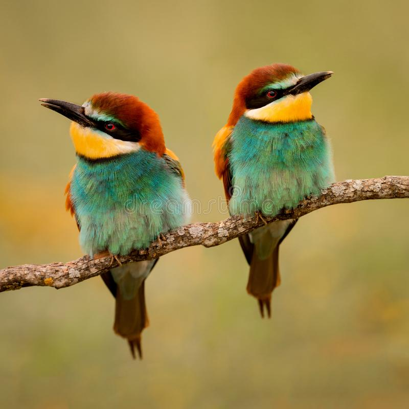 Couple of bee-eaters. Perched on a branch looking at different side royalty free stock photography