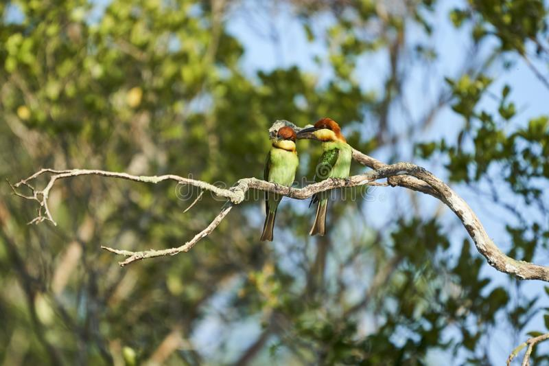 Couple of Bee Eaters stock images