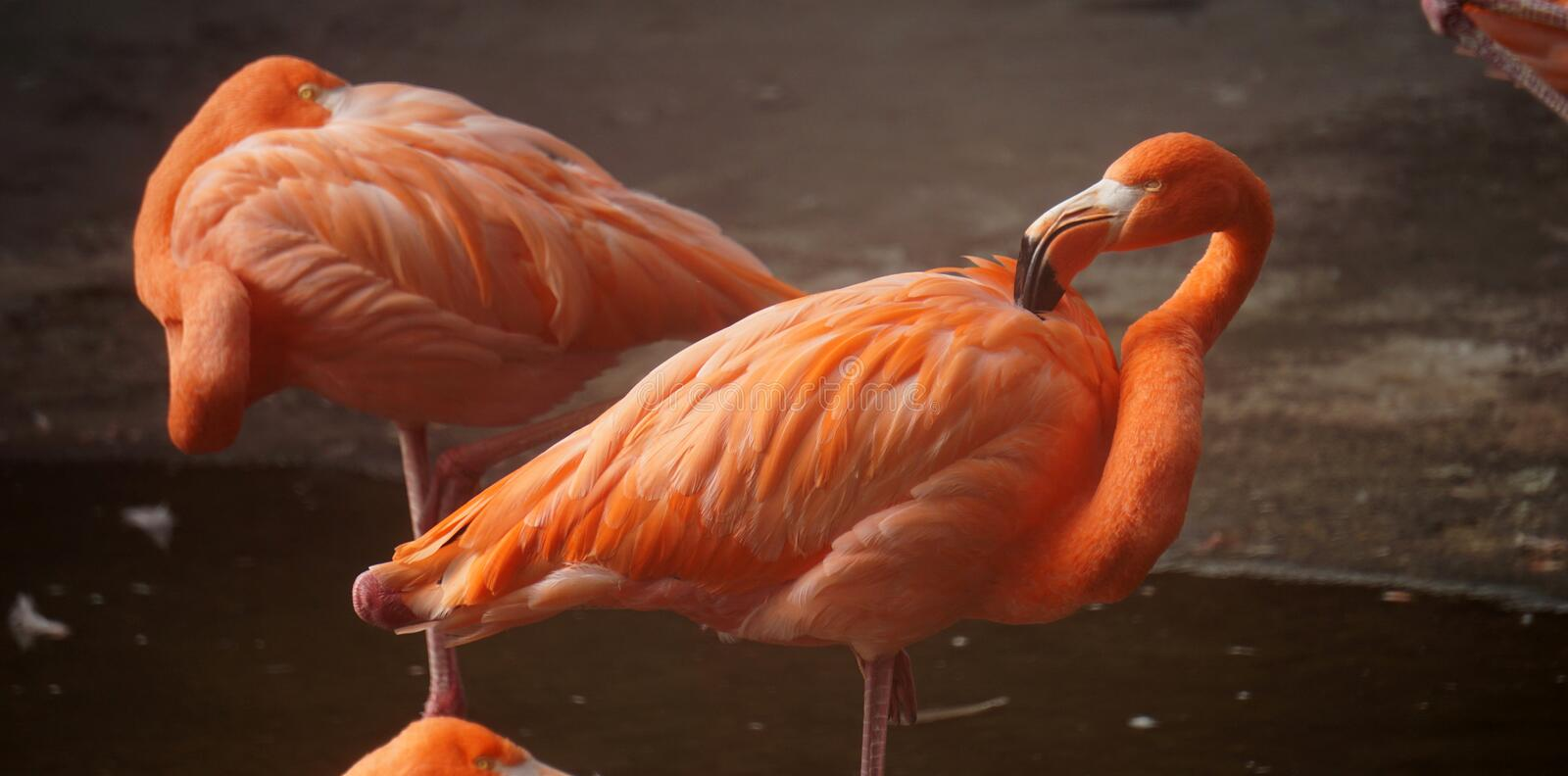 Couple of orange flamingos royalty free stock images