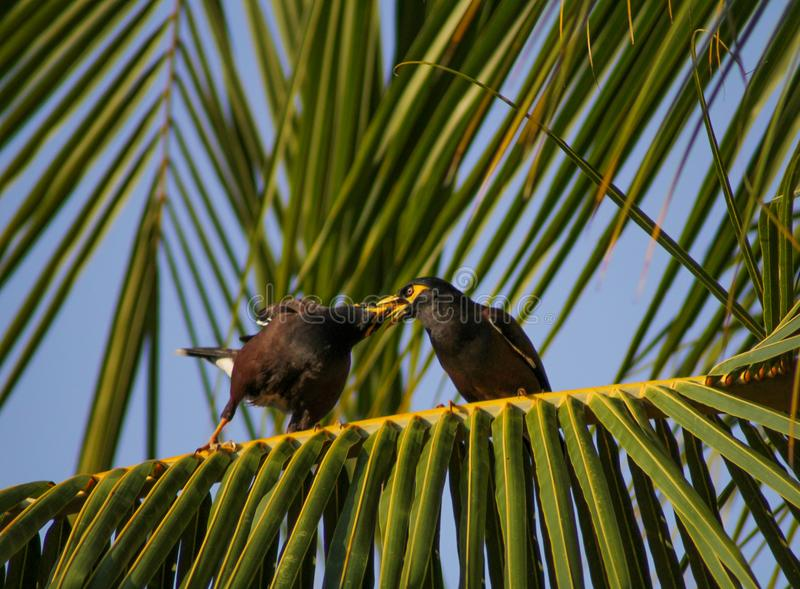 Couple of birds relaxing on a coconut tree branch. Couple of birds myna relaxing on a coconut tree branch stock images