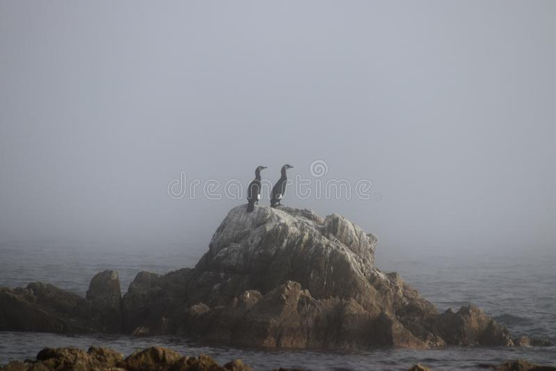 Couple of black cormorants standing on the coastal rock on the dense fog background. stock photo