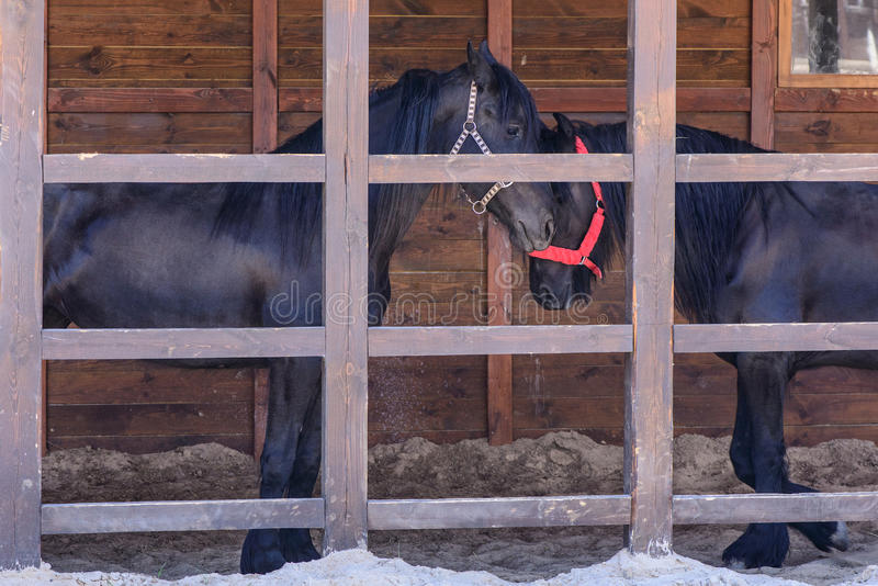Couple of black horse. Agriculture animal couple of the black horse stock photos
