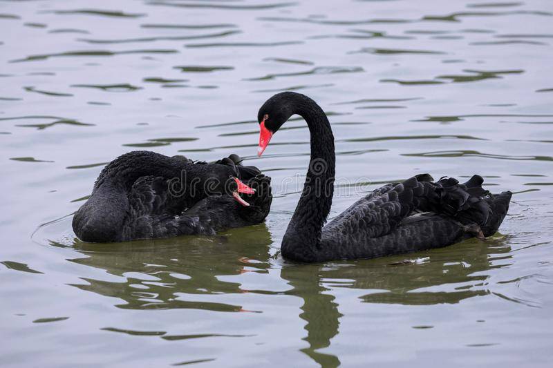 A couple of black swan royalty free stock images