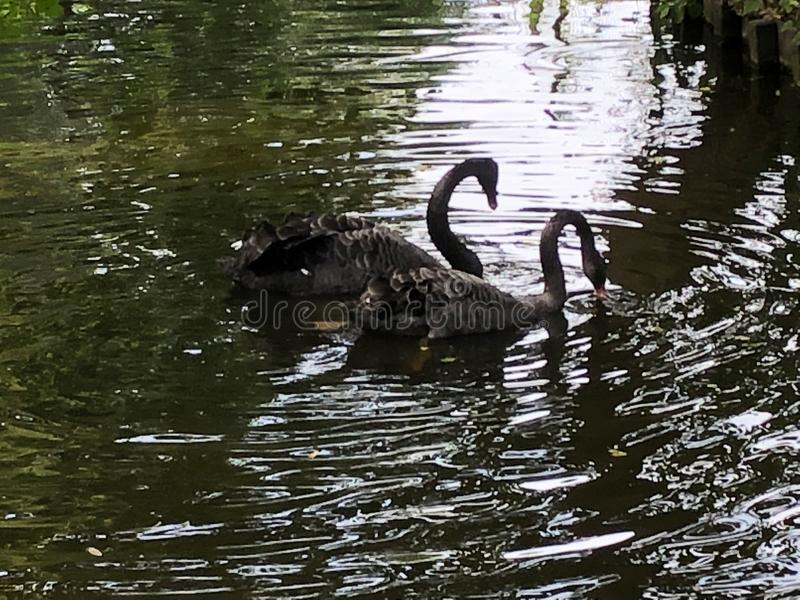 Black swans in the pond royalty free stock photo